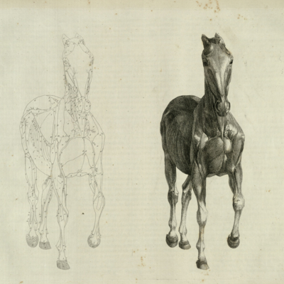The seventh anatomical table of the muscles, fascias, ligaments, nerves, arteries, veins, glands, and cartilages of a horse, viewed in front