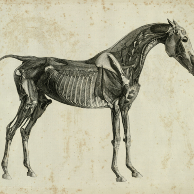 The fourth anatomical table of the muscles, fascias, ligaments, nerves, arteries, veins, glands, and cartilages of a horse