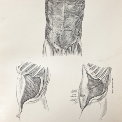 Anatomical diagram of the abdominal muscles
