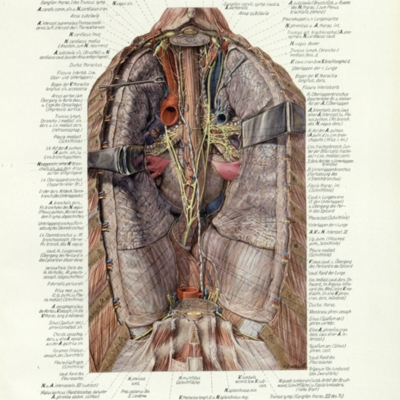 A representation of the mediastinum