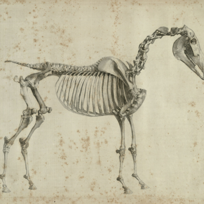 The first anatomical table of the skeleton of a horse