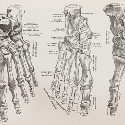 Anatomical diagram of the bones of the feet