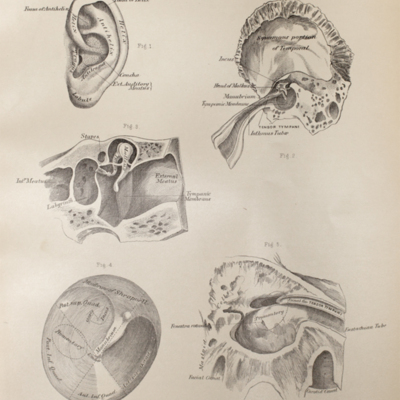 Anatomical diagram of the ear