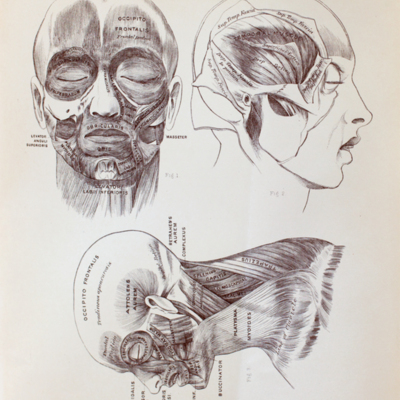 Anatomical diagram of the muscles of the head