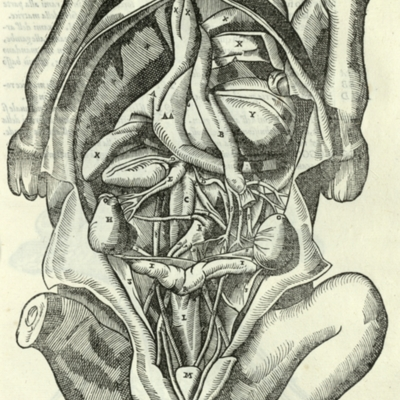 Anatomical diagram of the female reproductive system of a horse