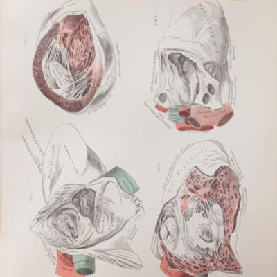 Anatomical diagram of the ventricles and auricles of the heart