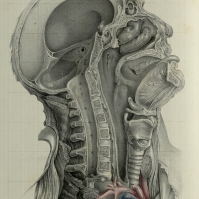 The relative position of the cranial, nasal, oral, and pharyngeal cavities, etc.